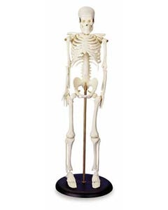 Budget Bucky Skeleton