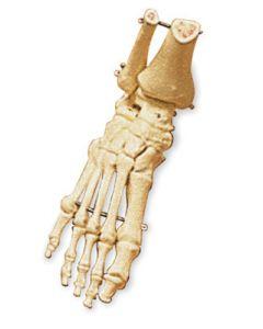 Human Foot Model