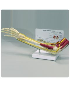 Muscled Elbow Joint Model